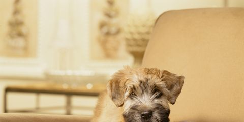Dog breed, Dog, Carnivore, Working animal, Companion dog, Couch, Pet supply, Beige, Fawn, Sporting Group,