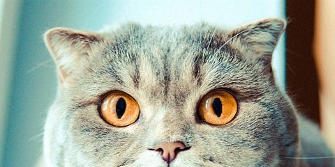 Whiskers, Carnivore, Vertebrate, Organism, Small to medium-sized cats, Felidae, Cat, Tongue, Iris, Snout,