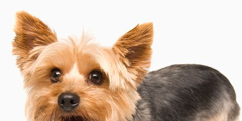 New Research Conducted By The Pet Charity Blue Cross Has Revealed That Small Pocket Sized Breeds Are Among Most Unwanted Dogs In Country