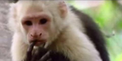 Nature, White-headed capuchin, Cheek, Natural environment, Organism, Skin, Vertebrate, Primate, White, Terrestrial animal,