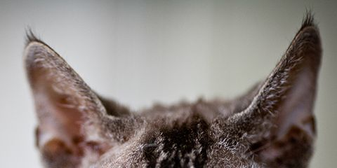 Whiskers, Skin, Organism, Small to medium-sized cats, Vertebrate, Felidae, Cat, Carnivore, Iris, Snout,