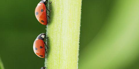 Nature, Organism, Ladybug, Green, Invertebrate, Insect, Red, Arthropod, Orange, Adaptation,