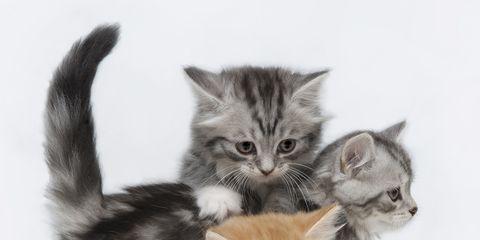 Vertebrate, Organism, Felidae, Small to medium-sized cats, Cat, Kitten, Carnivore, Whiskers, Iris, Beige,