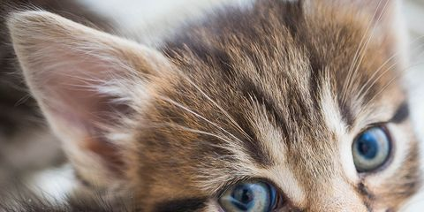 Brown, Skin, Whiskers, Vertebrate, Small to medium-sized cats, Felidae, Cat, Carnivore, Iris, Snout,