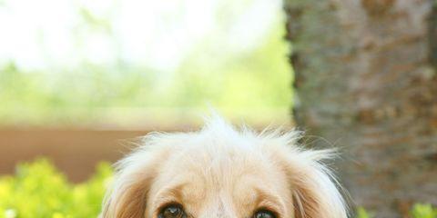 Dog breed, Grass, Carnivore, Skin, Dog, Mammal, Iris, Sunlight, Snout, Terrestrial animal,