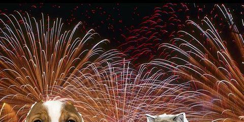 Carnivore, Vertebrate, Dog breed, Dog, Midnight, Liver, Fireworks, Whiskers, Felidae, Cat,