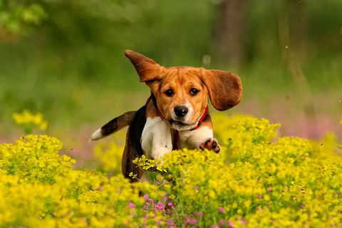 Dog breed, Dog, Carnivore, Mammal, Wildflower, Liver, Groundcover, Snout, Companion dog, Meadow,