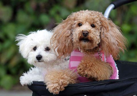 Dog, Vertebrate, Dog breed, Carnivore, Mammal, Toy dog, Snout, Companion dog, Liver, Pet supply,