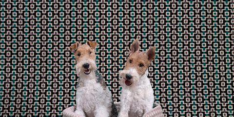 Dog breed, Dog, Carnivore, Vertebrate, Dog supply, Home accessories, Snout, Terrestrial animal, Terrier, Pet supply,