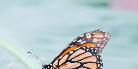 Invertebrate, Arthropod, Insect, Organism, Natural environment, Green, Pollinator, Butterfly, Monarch butterfly, Viceroy (butterfly),