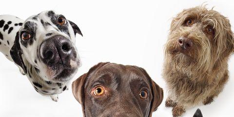 Dog, Dog breed, Vertebrate, Organism, Carnivore, Snout, Dalmatian, Liver, Working animal, Companion dog,