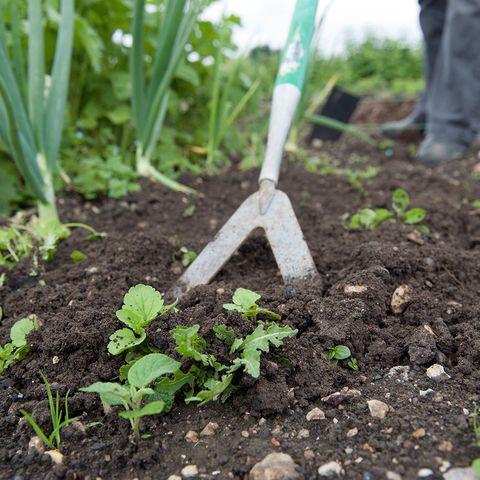 Sol, feuille, ingrédient, famille de l'herbe, l'agriculture, le compost, les herbes, le jardinage, plante annuelle, plantation,