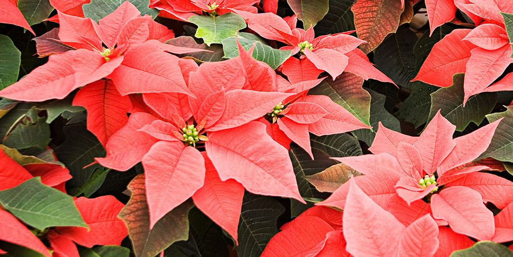Poinsettia Care How To Water And Prune Poinsettias
