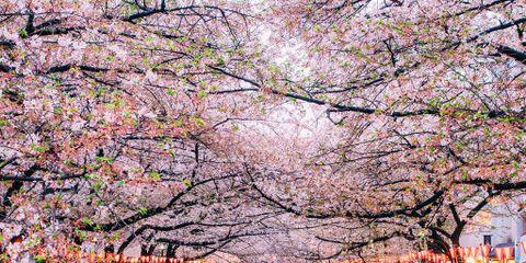 Branch, Flower, Pink, Blossom, Waterway, Channel, Woody plant, Petal, Walkway, Botany,