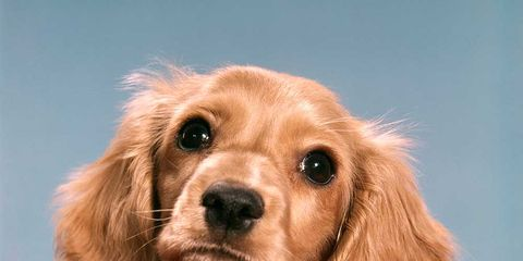 Dog breed, Brown, Skin, Carnivore, Dog, Tan, Snout, Sporting Group, Liver, Fawn,