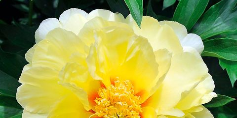 Flower, Flowering plant, Julia child rose, Petal, Plant, Yellow, Peony, Botany, Chinese peony, common peony,