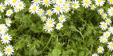 Flower, Flowering plant, heath aster, aromatic aster, Plant, smooth aster, Marguerite daisy, Oxeye daisy, chamomile, Daisy,