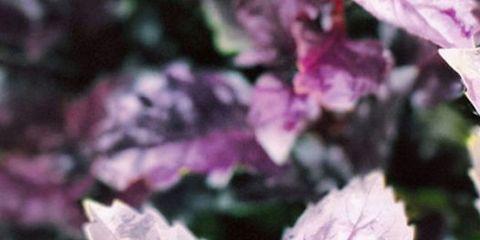 Flower, Purple, Lilac, Petal, Plant, Leaf, Flowering plant, Basil, Perilla, Mallow family,