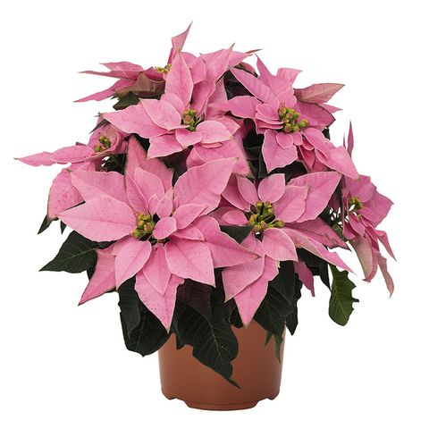 Jamie Downes Nursery Manager For Wyevale Garden Centres Said Red Poinsettias Will Always Be Hugely Por Around Christmas Time But More And