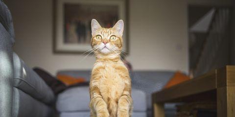 Cat, Felidae, Small to medium-sized cats, Whiskers, Tabby cat, Fur, European shorthair, Asian, Carnivore, Eye,