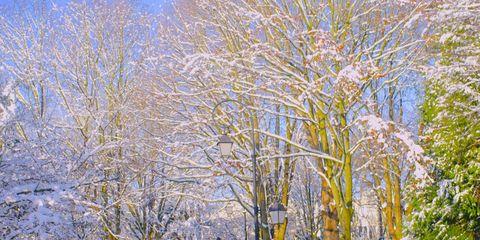 Snow, Winter, Tree, Car, Vehicle, Freezing, Leaf, Woody plant, Mid-size car, Plant,