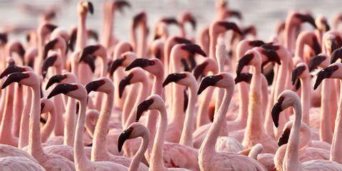 Flamingo, Organism, Greater flamingo, Bird, Vertebrate, Water bird, Pink, Beak, Wildlife, Adaptation,