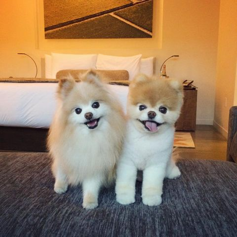 Dog, Spitz, Carnivore, Room, Dog breed, Flooring, Floor, Toy dog, Hardwood, Pomeranian,