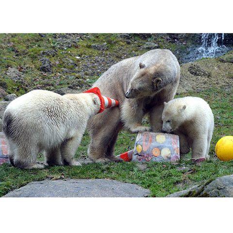 Organism, Vertebrate, Carnivore, Adaptation, Terrestrial animal, Toy, Citrus, Polar bear, Fruit, Snout,