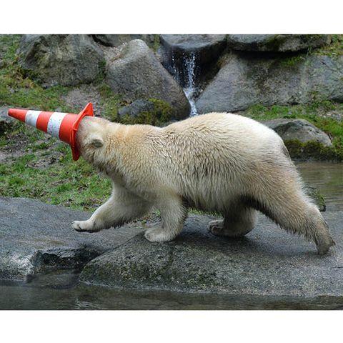 Vertebrate, Carnivore, Adaptation, Terrestrial animal, Polar bear, Carmine, Snout, Tail, Fur, Coquelicot,