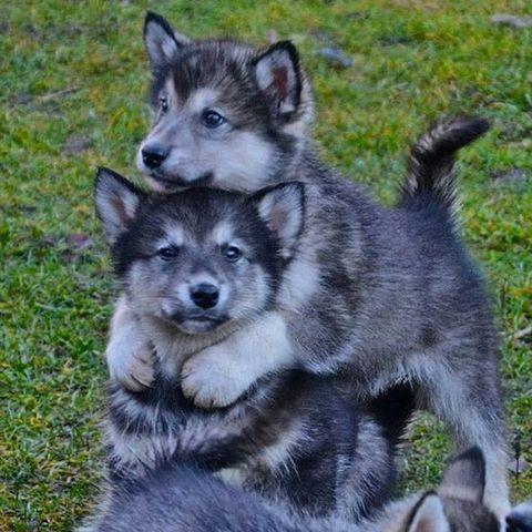 Vertebrate, Dog, Carnivore, Dog breed, Sled dog, Iris, Snout, Organ, Grey, Canis,