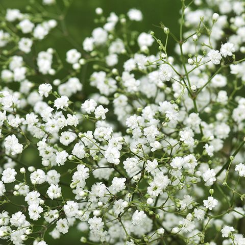 Flower, Petal, Flowering plant, Groundcover, Spring, Blossom, Wildflower, Parsley family, Trachyspermum ammi, Subshrub,