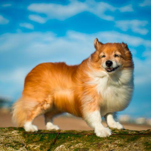 Dog breed, Daytime, Carnivore, Dog, Vertebrate, Mammal, Snout, Companion dog, Terrestrial animal, Spitz,