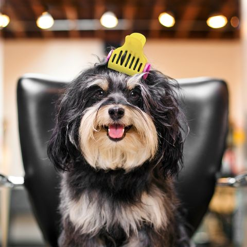Dog breed, Dog, Carnivore, Snout, Tongue, Companion dog, Fur, Working animal, Canidae, Dog supply,