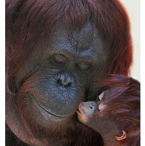 Skin, Primate, Terrestrial animal, Snout, Liver, Wrinkle, Fawn, Orangutan, Zoo,