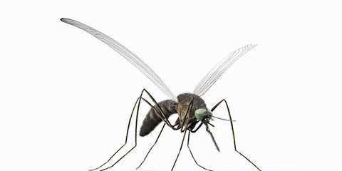 Invertebrate, Insect, Pest, Arthropod, Line, Organ, Wing, Black, Grey, Parasite,