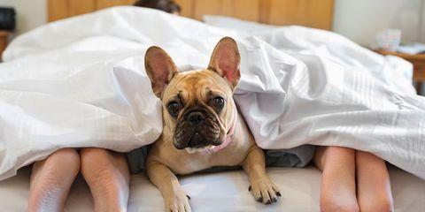 Skin, Dog, Carnivore, Vertebrate, Dog breed, Comfort, Bulldog, Snout, Toy dog, Wrinkle,