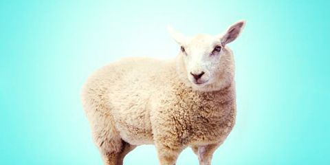 Sheep, Sheep, Teal, Terrestrial animal, Snout, Azure, Turquoise, Aqua, Livestock, Fur,