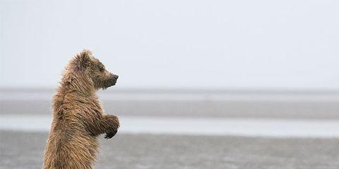 Vertebrate, Brown bear, Grizzly bear, Bear, Carnivore, Wildlife,