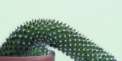Cactus, Flowerpot, Houseplant, Green, Plant, Terrestrial plant, Flower, Thorns, spines, and prickles, Organism, Acanthocereus tetragonus,