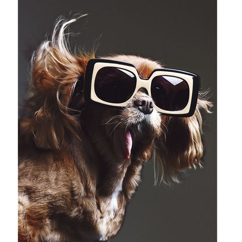 Eyewear, Vision care, Goggles, Brown, Dog breed, Carnivore, Sunglasses, Dog, Collar, Snout,