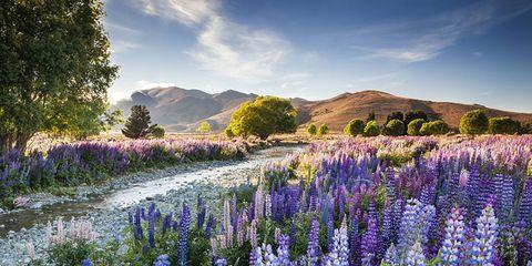Lupin, Flower, Lavender, Plant, Natural landscape, Wilderness, Wildflower, Flowering plant, English lavender, Delphinium,