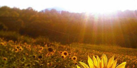 Nature, Petal, Natural landscape, Plant community, Sunflower, Flower, Field, Sunlight, Agriculture, Ecoregion,