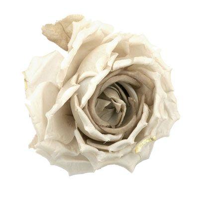 Petal, Flower, Rose family, Flowering plant, Garden roses, Botany, Rose order, Hybrid tea rose, Beige, Rose,