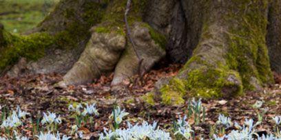 Plant, Flower, Snowdrop, Galanthus, Wildflower, Groundcover, Terrestrial plant, Trunk, Flowering plant, Spring,