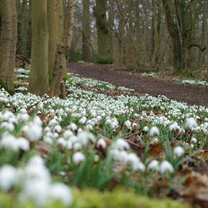 Natural environment, Plant, Flower, Forest, Galanthus, Terrestrial plant, Groundcover, Woodland, Trunk, Spring,