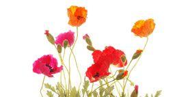 Petal, Flowerpot, Flower, Red, Flowering plant, Botany, Cut flowers, Artifact, Flower Arranging, Vase,