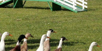 Grass, Green, Vertebrate, Bird, Beak, Adaptation, Grass family, Groundcover, Grassland, Ducks, geese and swans,