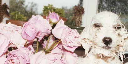 Dog breed, Petal, Dog, Flower, Carnivore, Pink, Bouquet, Flowerpot, Cut flowers, Vase,