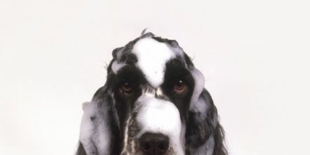 Dog breed, Carnivore, Dog, Style, Snout, Sporting Group, French spaniel, Spaniel, Grey, Liver,