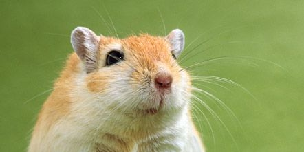 Green, Organism, Skin, Whiskers, Vertebrate, Hamster, Rodent, Snout, Fawn, Pest,